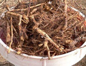корни шиповника