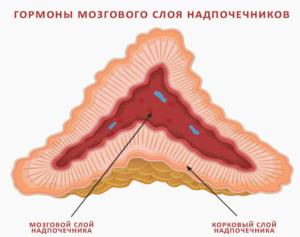 мозговой слой